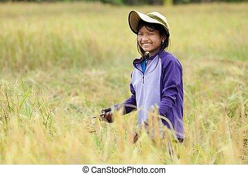 Girl harvesting rice - Girl harvesting ripe rice in field,...