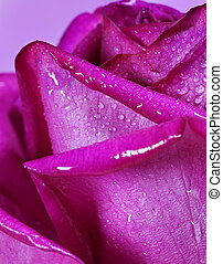 Purple rose closeup Flowers art design Valentine day holiday...