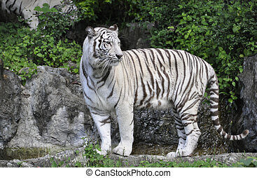 Tiger, Asian Panthera tigris - The largest feline in the...