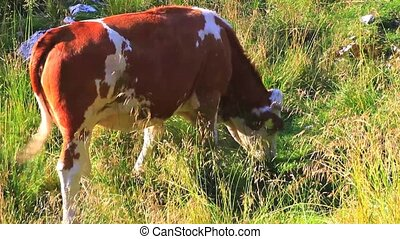 Cow grazing - Photo of a Cow grazing in the field