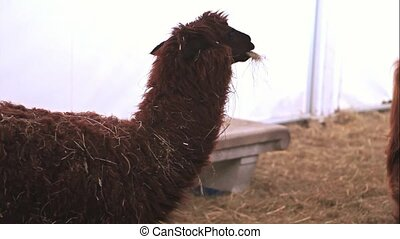 Llama - Photo of a nice Llama in the farm