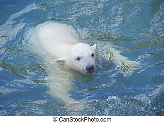 Little polar bear - Little white polar bear swimming in...