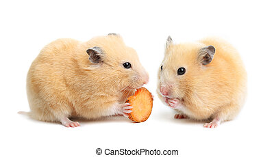 Funny hamster eats - Two funny hamsters eats on white...