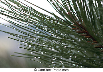 Drops on Pine Needles
