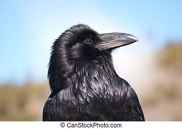 Raven Portrait - A pruod raven posing for his portrait in...
