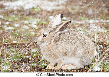 Snow Bunny - A wild cottontail rabbit sits quietly in a...