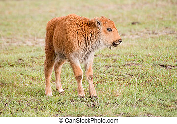 """Red Dog - A very young bison calf a.k.a. """"red dog"""""""