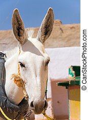 Nice Donkey white in Kharga\\\'s city (Egypt)