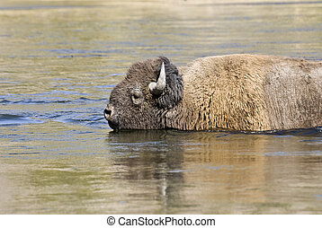 River Bison - A bison swims across the Madison River in...