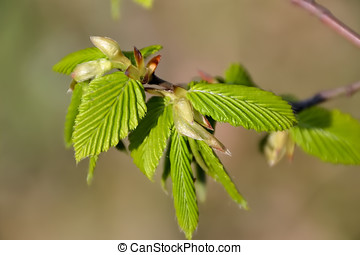 young leaves on the branch of a beech tree in spring