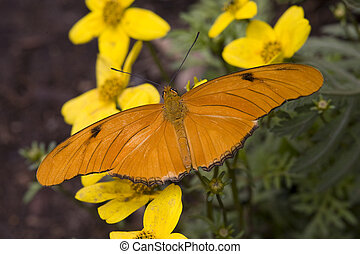 Bright Orange Julia Butterfly on Yellow Flowers - Bright...