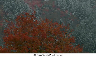 autumn trees with snowy Pines in distance