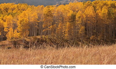 Pan across mountain meadow with yellow aspens and Indian...