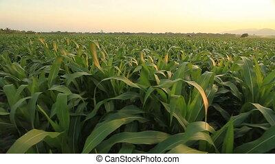 Corn farm.