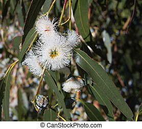 Eucalyptus globulus-Tasmanian blue gum tree - Closeup of...