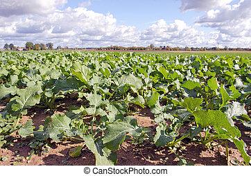 green rape rapeseed agriculture field in autumn season