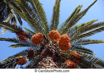 A close up of a phoenix dactylifera palm tree