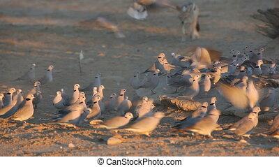 Black-backed Jackal hunting doves - A black-backed Jackal...