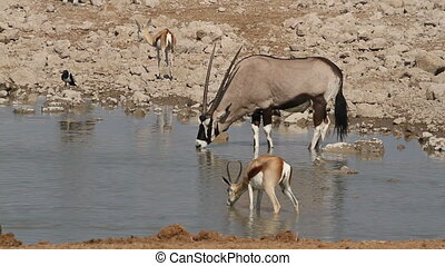 Antelopes at waterhole - Gemsbok and springbok antelopes...