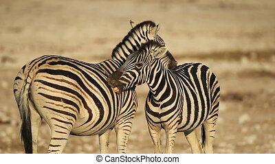 Plains Zebras grooming - Two plains (Burchells) Zebras...