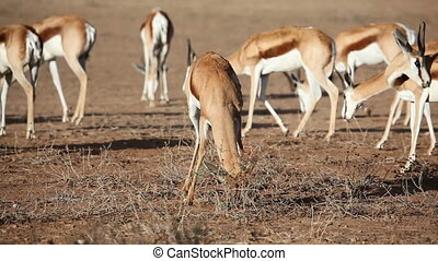 Springbok and bush - Springbok antelope Antidorcas...
