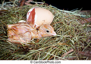 Chick egg and nest