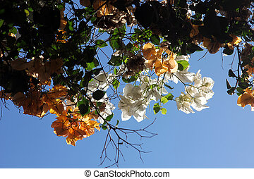Bougainvillea flower - Beautiful colorful tropical...