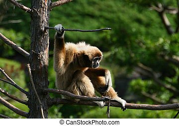 White Handed Gibbon Ape - This ape sits on a branch...