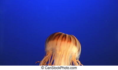 Orange jellyfish (Chrysaora fuscescens or Pacific sea...