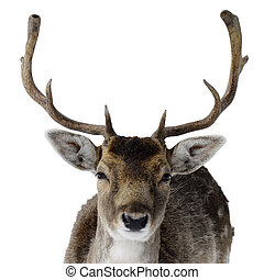 Adult male deer with big antlers - Portrait of an Adult male...