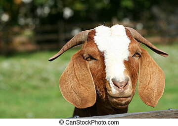 Billy goat with head over fence