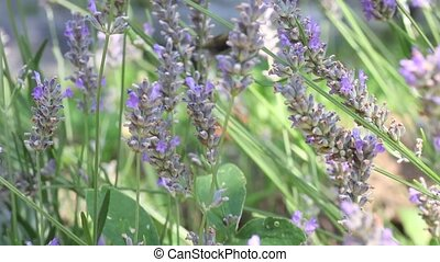 Bee on lavender