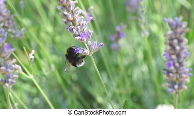 Bee on lavender  - Nice Bee on lavender in summer season