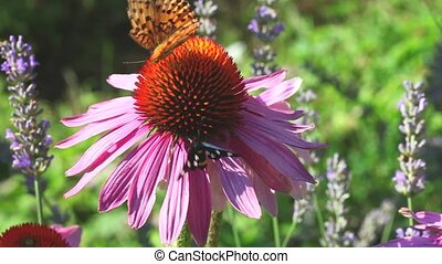 Butterfly on Echinacea flowers in the summer