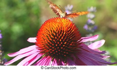 Insects on flowers - Butterfly and bee on Echinacea flowers...