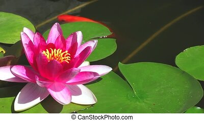 Water lily  floating in the pond