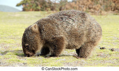 Wombat - Close up of wombat in Narawntapu national park,...