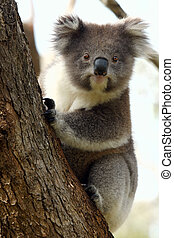 Koala on tree - A little koala on a eucalyptus tree in...