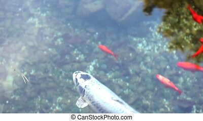 Koi carps - Red fishes - Video of Koi carps or Red fishes...