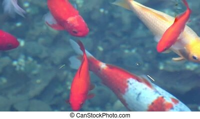 Koi carps - Red fishes