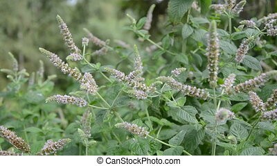 blossoming mint (Mentha) herbs