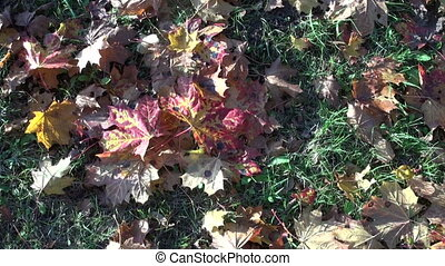 colorful autumn maple leaves on park grass