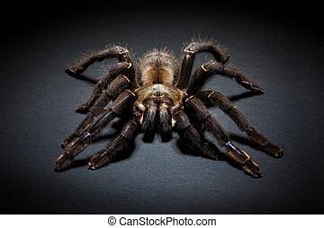 Tarantula spider - Big brown spider on dark background