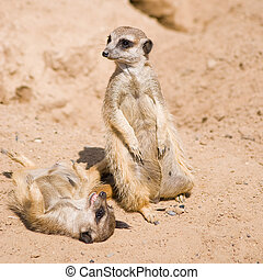 Relaxing meerkats - Cute meerkats playing and relaxing in...