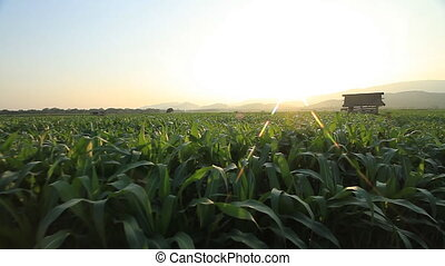 Corn farm - Corn farm in Thailand : Crane shot