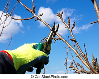 pruning - hand with a glowe pruning with a scissors