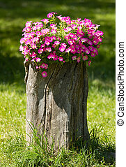 Beautiful flowers - Beautiful Petunia flowers grow on a...
