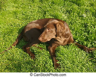Flat-coated retriever - Brown female of a flat-coated...