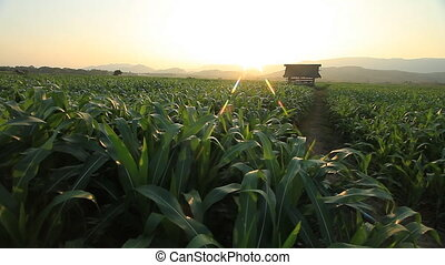 Corn farm.  - Corn farm in Thailand :  Crane shot.