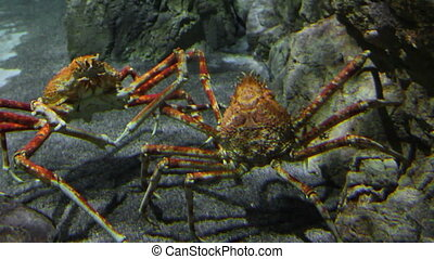 two large crab underwater